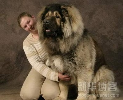 Russian Caucasian Mountain Dog